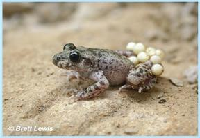Mallorcan Midwife Toad