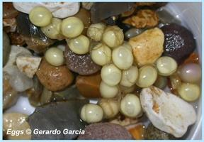 Mallorcan Midwife Toad eggs